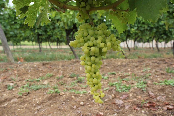 Vineyard Grapes Ugni Blanc