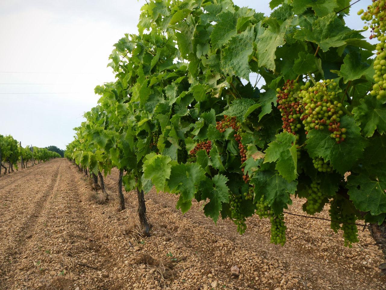 Vineyard Guy Pinard