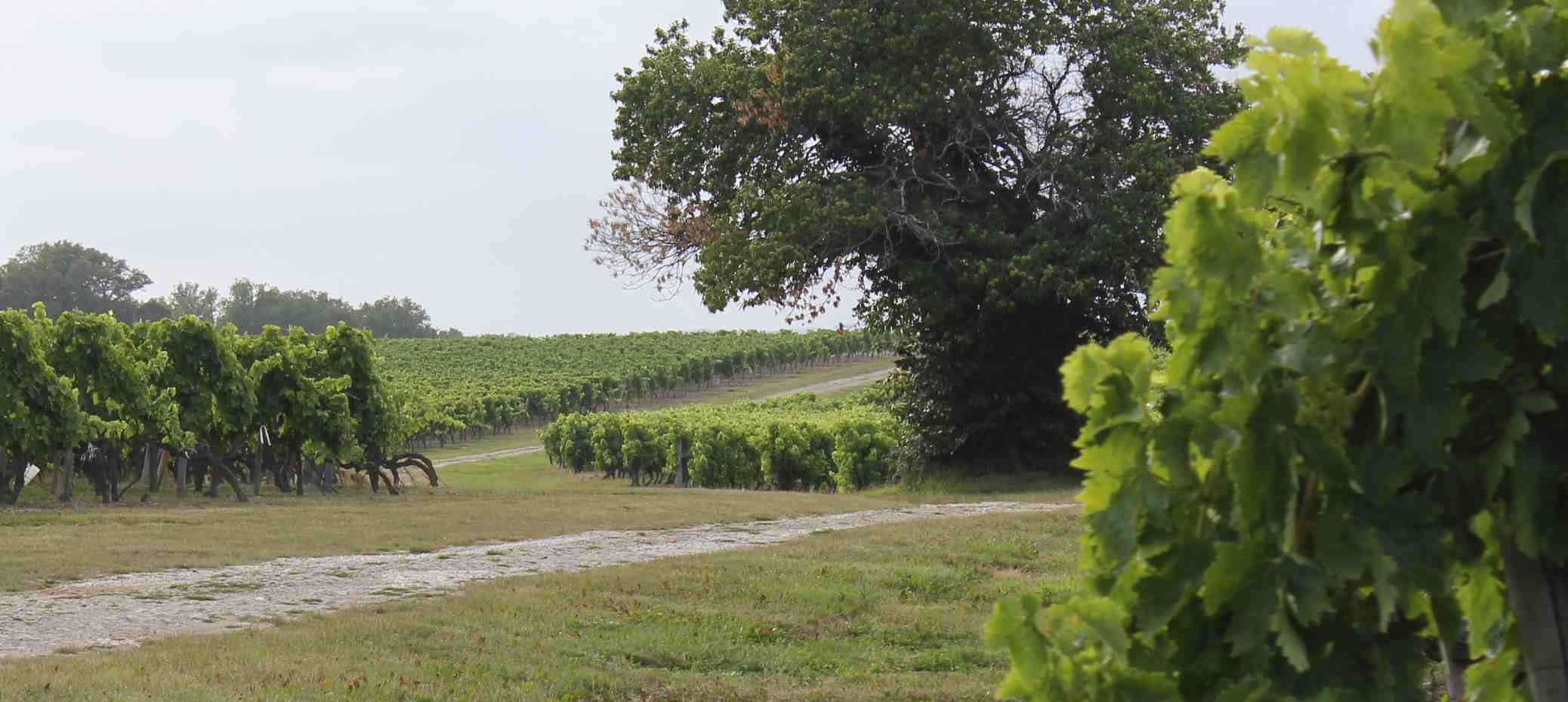 Vineyards at Le Maine Giraud