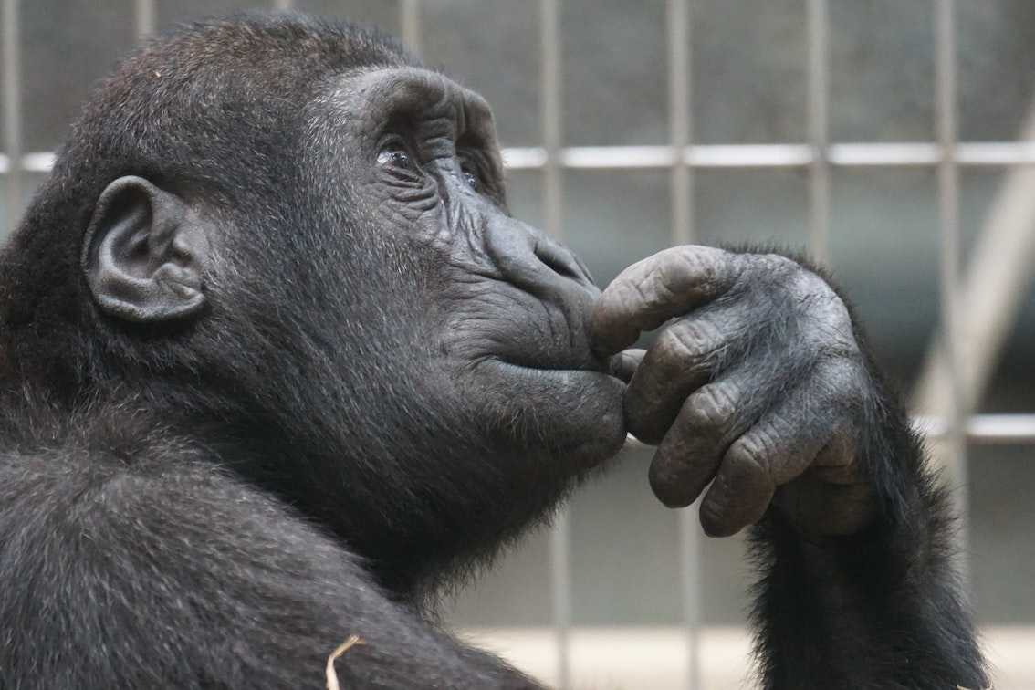 Chimpanzee in a thoughtful pose